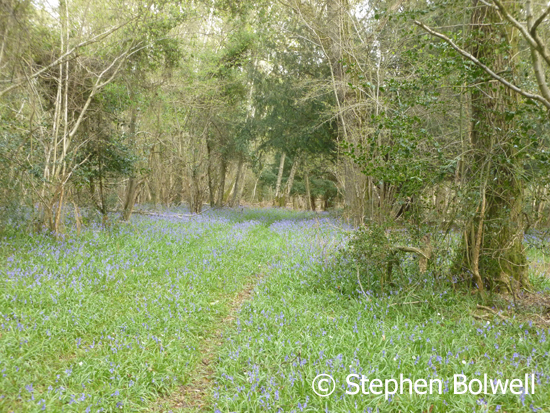 An off the Forest bluebell wood that hasn't been eaten out or trampled by livestock.