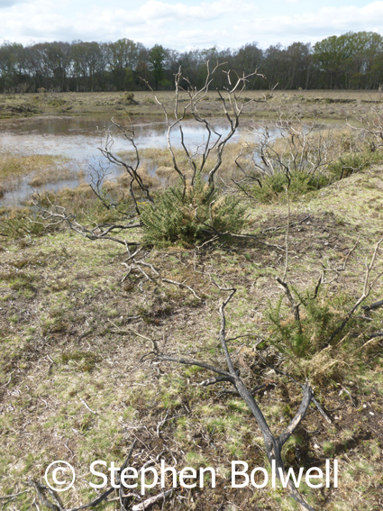 This the reverse view shows the gorse burnt, which is normal because crashing it or burning manages the plant and it grows back as it is doing here, but look closely at the ground, there no heather regeneration.