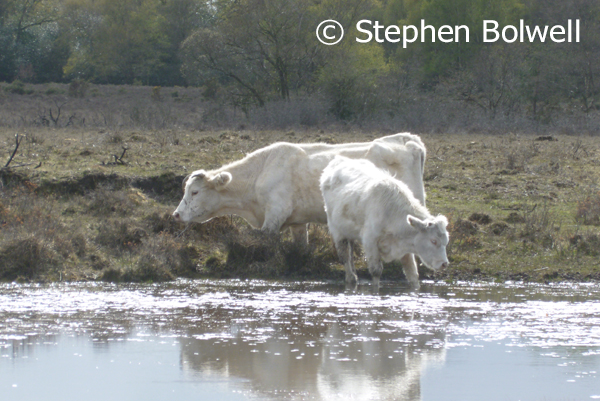 Besides New Forest ponies there are a lot of cattle in the area and their trampling presence is noticeable, especially around the edge of ponds.
