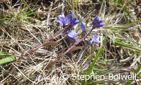 Heath milkwort, Polygala serpyllifolia - just satiny and lso present today.
