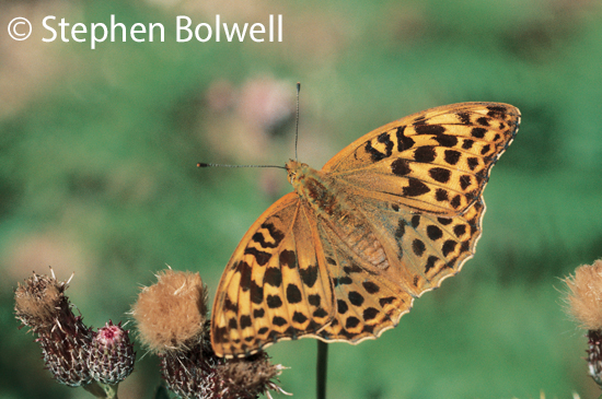 A silver-washed fritillary photographed regularly during the summers of the 1970s 80s will be less often seen in the Forest of this new Millennium  because there is little in the way of food plants for them, which is sad.