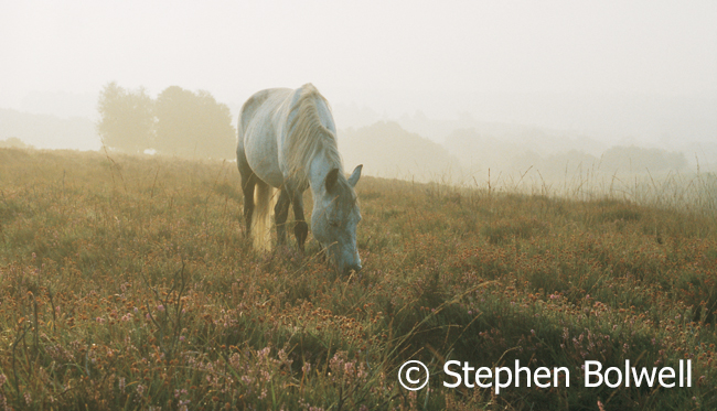 A New Forest Pony on open heath sometime in the 1990s. I an animal very fond of these animals, but the many that presently roam the forest need to be somewhere else, preferably under some teenage girl called 'Daphne' competing at gymkhanas somewhere in the home counties rather than has happened so often in the past - on a Frenchman's dinner table.