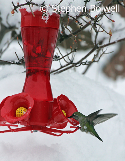 A more recent picture of a female Anna's hummingbird on our garden feeder on 4th. February 2017 when around 14  inches of snow had fallen.