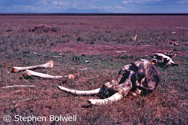 Apart from a few scavengers the elephant skeleton remained, more or less, in the same position as when the animal died.