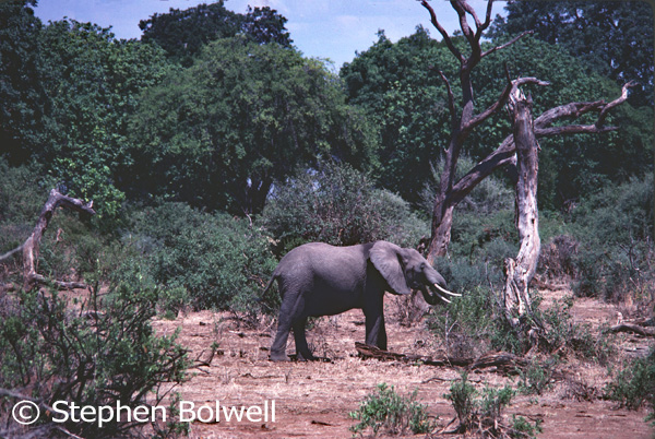 African elephants are kept species, when they pass an acacia seed in their droppings or push over a tree to get at the leaves, they are instrumental in creating the environment they and a great many other animals live in.
