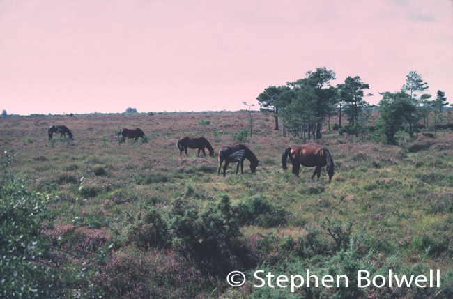 New Forest heathland during the 1970s when heathlands were less heavily grazed. healthier