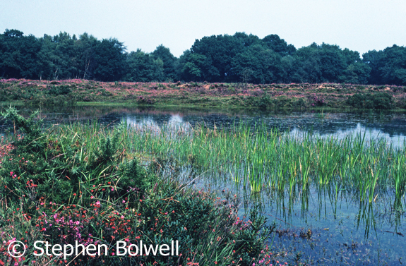 The same pond in the summer of 1978. A different time of year so it is unfair to make direct comparisons, but it is impossible not to notice that back then there was heather and other plant growth around the pond edge and it is not completely trampled.
