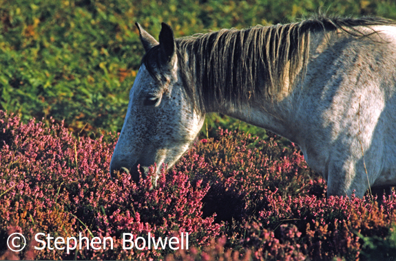 New Forest Pony in beautiful deep heather. Summer 2000.