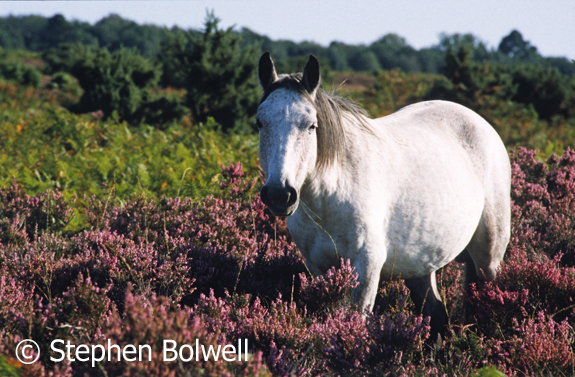 A New Forest up to it's belly in heather and with long grass in its mouth isn't so often seen as it was back in the summer of 2000 when this picture was taken.