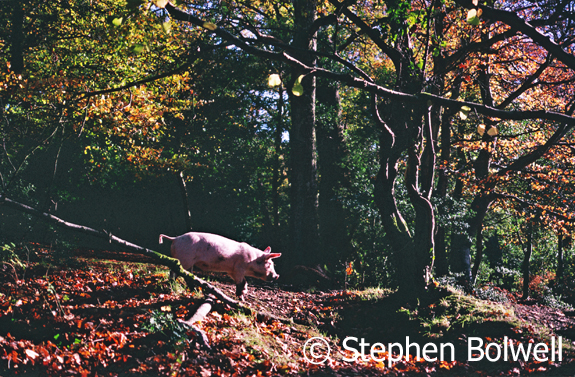 A presumably happy pig on his way in a search of acorns and anything else he can snuffle up Autumn 1999. Fritham.