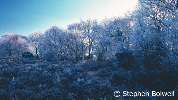 I took this picture on the other side of the stream in January of 2000 because it is unusual to see hoar frost lasting in the Forest when the sun has hit the branches of the trees, but it also srevees a record of the heathland at its most dormant and demonstrates that back then there was plenty of ground cover much of which is now been lost.