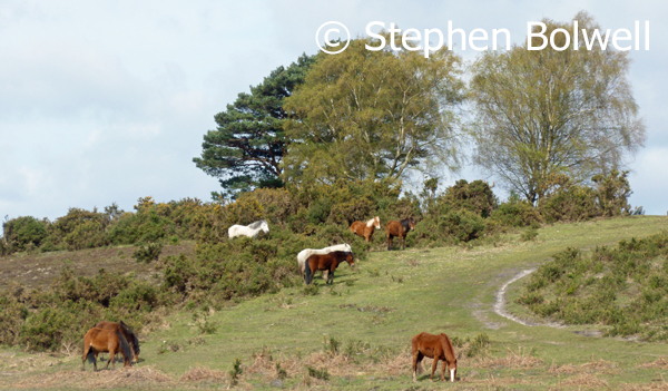 New Forest ponies in mixed open habitat. April 2016.