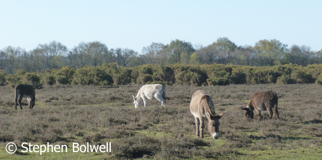 Donkeys grazing the open forest near Beaulieu.