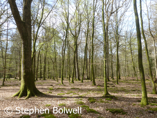 New Forest woodlands are frequently made up of  beach and oak. Here an area of young trees is devoid of understorey, which has been grazed out by livestock and deer.