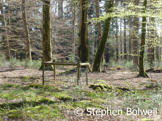 In areas where there are alien conifers, for example along the  Ornamental Drive and in the Boldrewood area unpalatable conifer seedlings are growing well in a beech and oak woodland, but there is not much in the way of regenerating native trees.