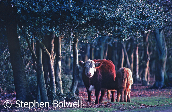 Cattle in mixed decision woodland on the open Forest in the late 1980s.