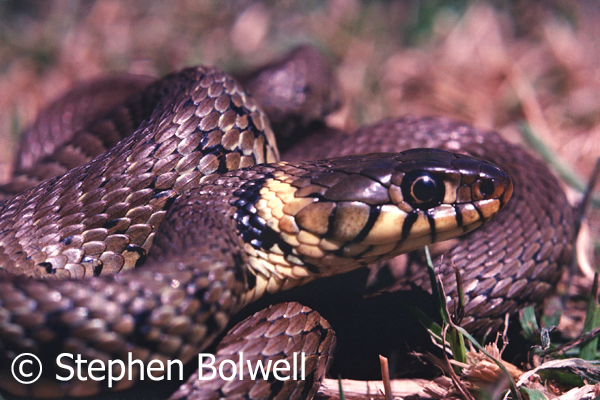 The grass snake, this one photographed here in the mid-1980s has also suffered habitat loss.