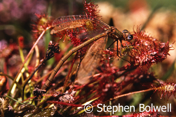 Damselfly caught on sundew - a carnivorous plant - on boggy heathland sometime in the mid-1980s.