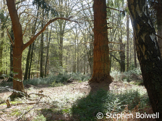 A few non-native conifers soon self seed as is the case in this New Forest woodland.