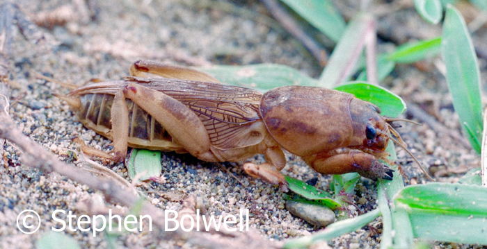 I've always liked the odd looking animals that most people don't like - this ones a mole cricket which is rather beautiful in its own way.