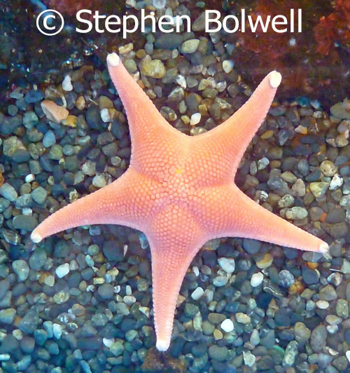 Starfish also demonstrate radial symetry when you look down upon them.