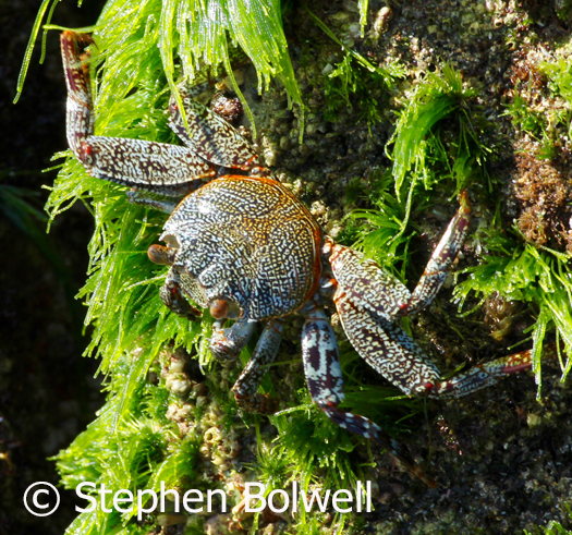 Crabs utilse their forelimbs to great effect with feeding as their primary function - this Hawaaian rock crab is feeding on seaweed. crabs with more developed pincers will also used them for defence and males will often wave them about in complex displays to impress females.