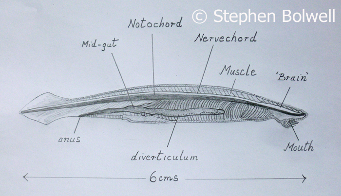 Amphioxus - is clasified as a Cephalochordata. This section through a specimen that I made when I was a student clearly shows the nerve chord running along the dorsal side.