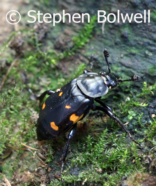 The sexton beetles makes a living burying small animals and lays eggs on th corpses it finds, but first it has to smell out the dead using chemorecpetors on the beetles specialist antennae which are well devloped.