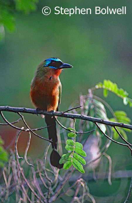A native blue-crowned motmot sitting on non-native bamboo.