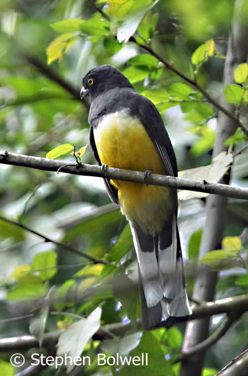 Here then is the unexpected trogon. It is a useful I.D. shot , but not entirely successful - the field of focus is shallow because the light is steadily going.