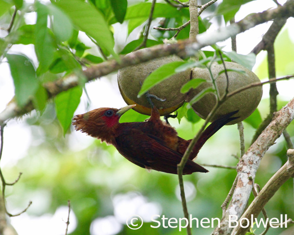 A male chestnut-coloured woodpecker feeds for some time on the split fruit of a horse balls tree. The fruits are paired and this gives the tree its vulgar but appropriate name.