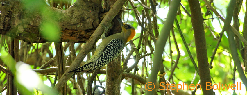 We watch a female golden-cheeked woodpecker busily working a rotten tree close by the track.
