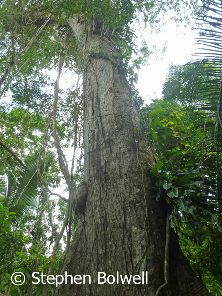 This is an older tree in the Coxcomb Reserve, it crtainly isn't an ancient tree, but it clearly demonstartes what happens to a tree in the rainforest as it ages - there's a whole new world developing in the upper part of the tree and in extensive areas on primary forest there are many plant and animal species that are dependent on the mid and upper storey and never come to the forest floor - this region is almost impossible to find in youg secondary forest.