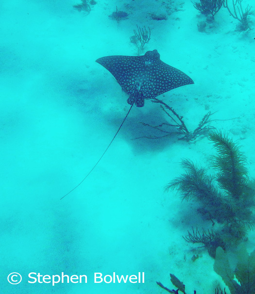 A brown-spotted eagle ray Aetobatus narinari is far enough below to be of little concern, but the young rays that hide in the sand around our dock put me off walking barefoot in the water.