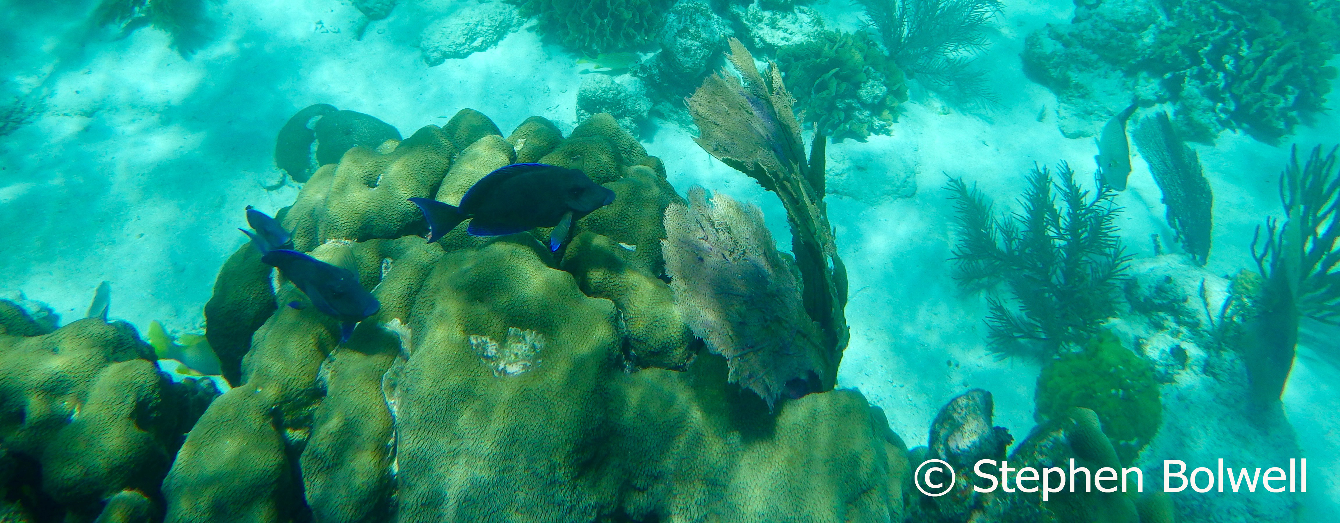 Blue tangs swimming over over a large brain coral.