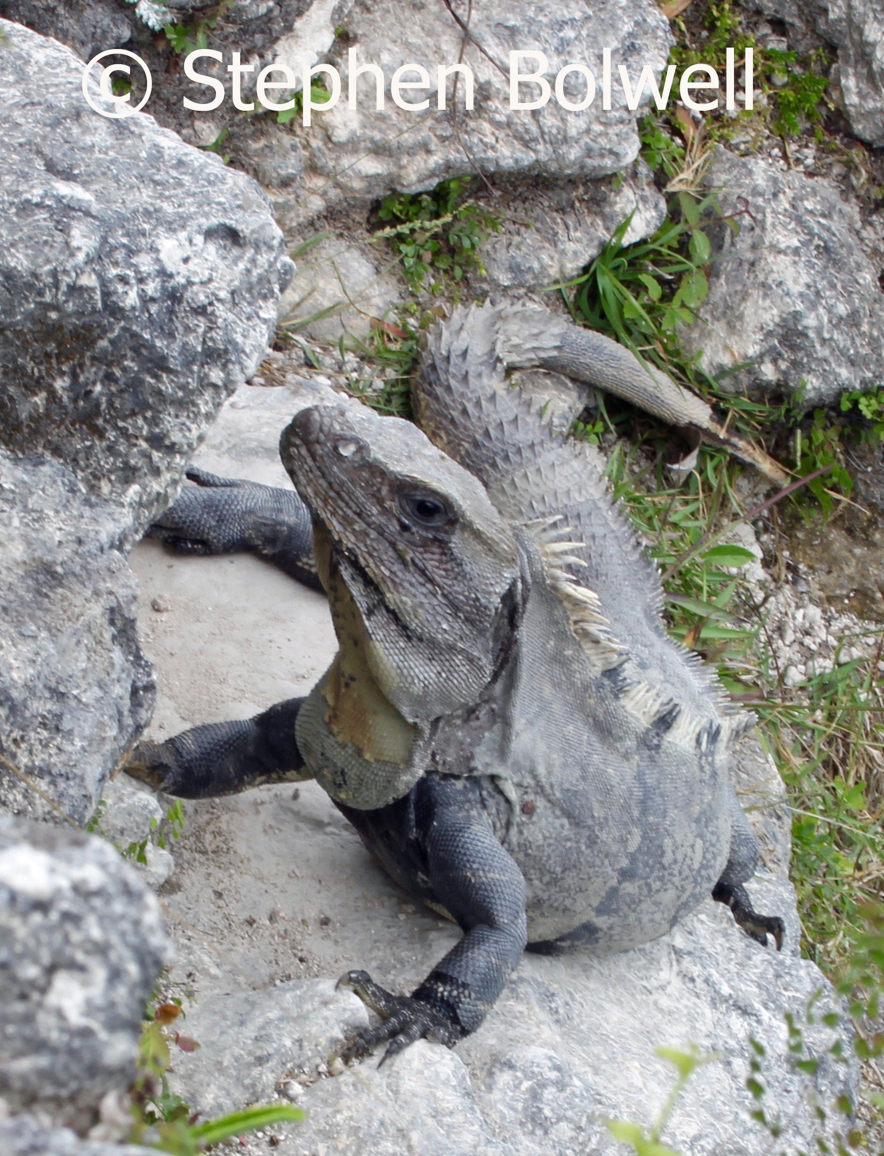 The spiny-tailed iguana is often seen on rocky outcrops - this then a perfect place to see it. The common green iguana will more likely to be seen up a tree or in vegetation.