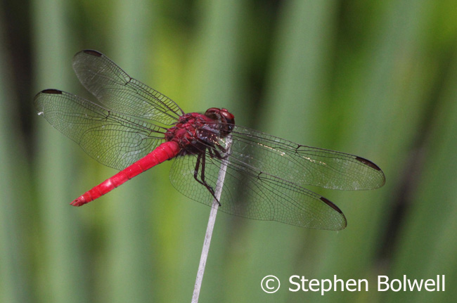 The beauty of a single dragonfly sums up why at least some sandy scrub behind the mangrove is worth preserving.