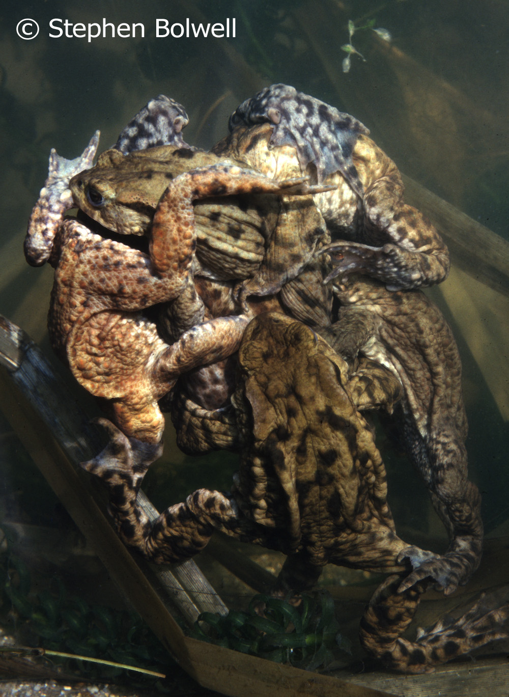 During the 1970s and 80 regularl photgraphed toads visiting my parents pond, but for many years common toad numbers in Britain have been in steep decline;and  I find it rather depressing