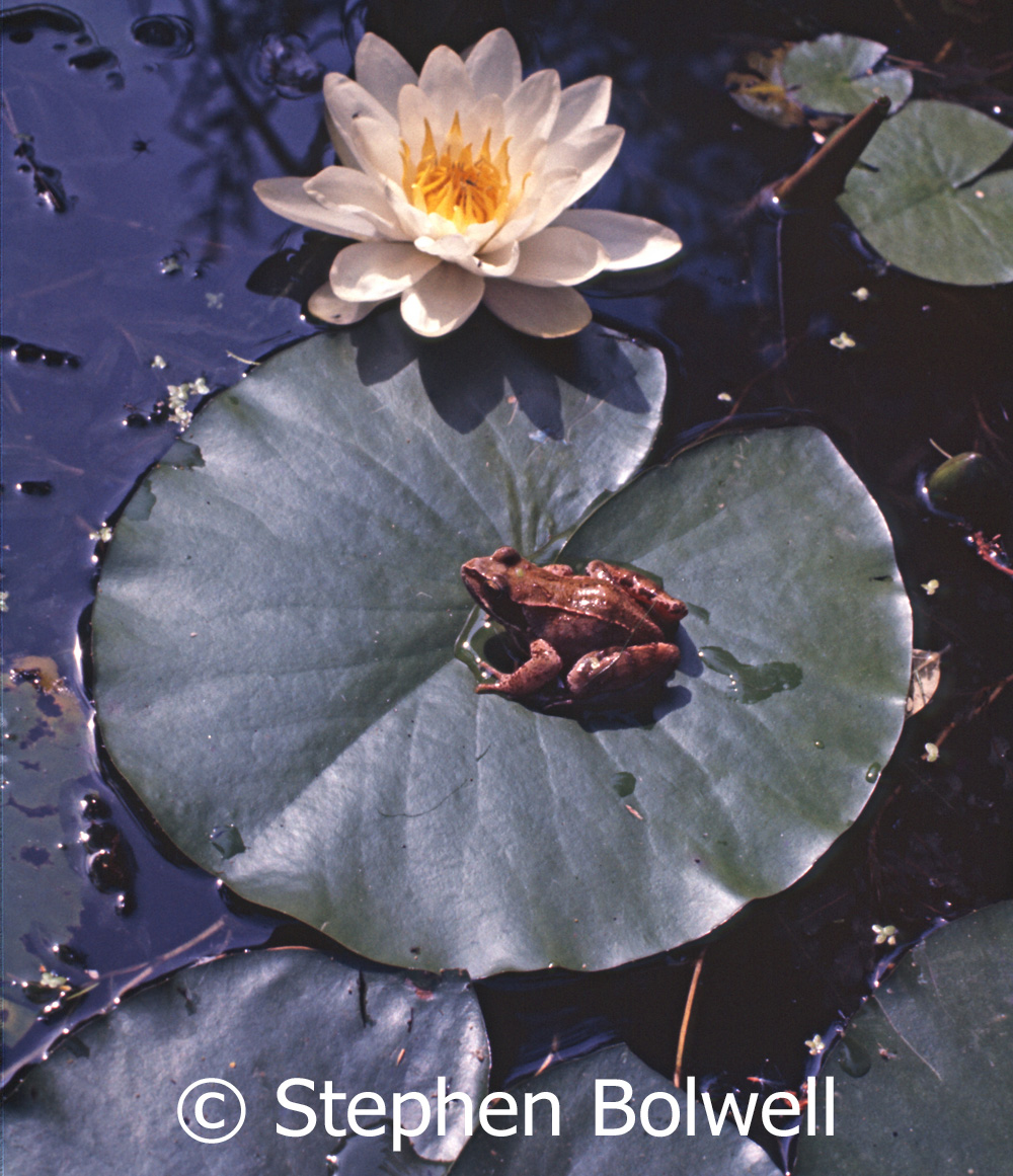 It was fairly common to see a frog following fairytale rules during summer in the  pond that I built in my parents garden.