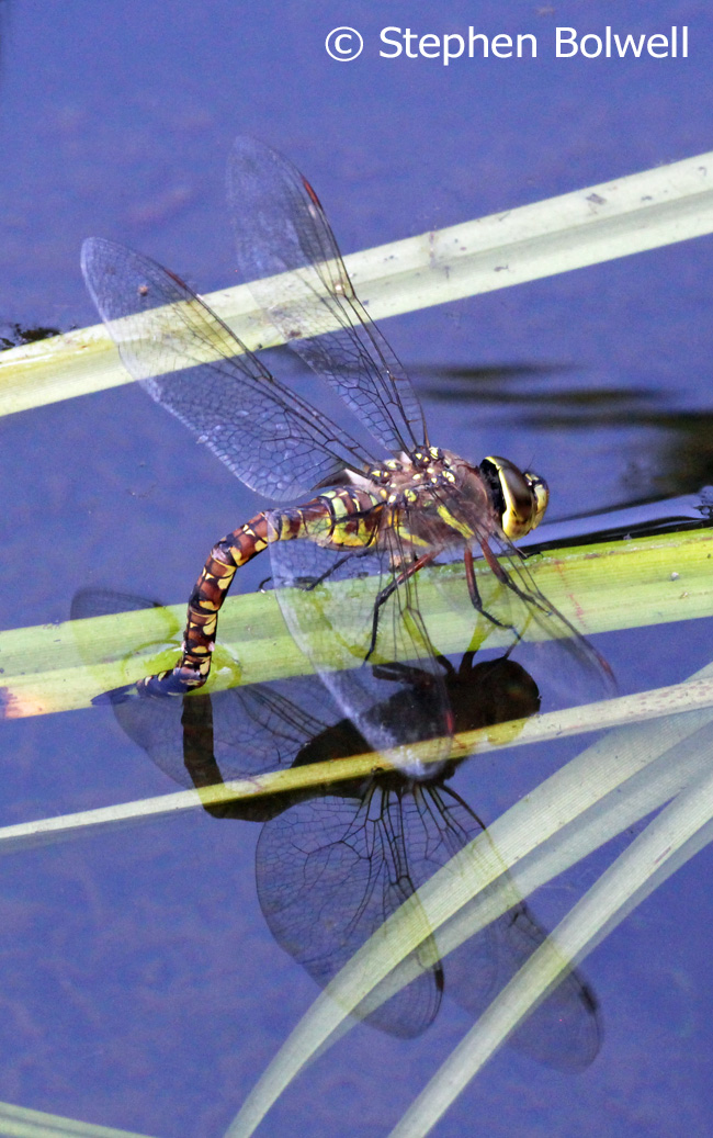 The first female dragonfly laying in the pond two days after filling with water.