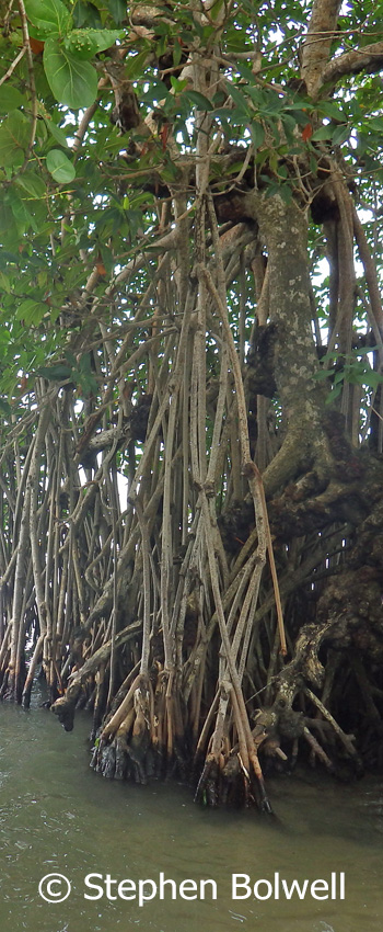 Mangroves architecture is delightfully natural.