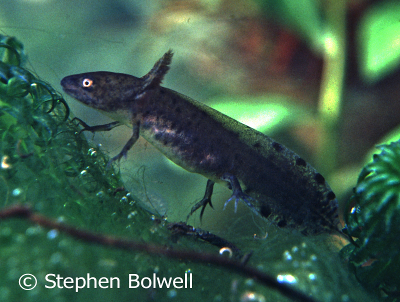 Salamander and newt larvae can be voracious predators eating almost other creature smaller than themselves.