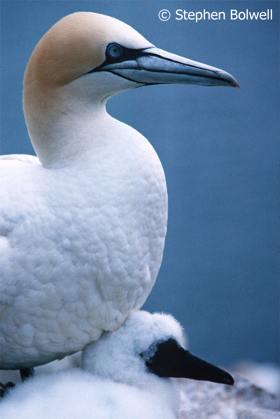 Gannet parent with chick.