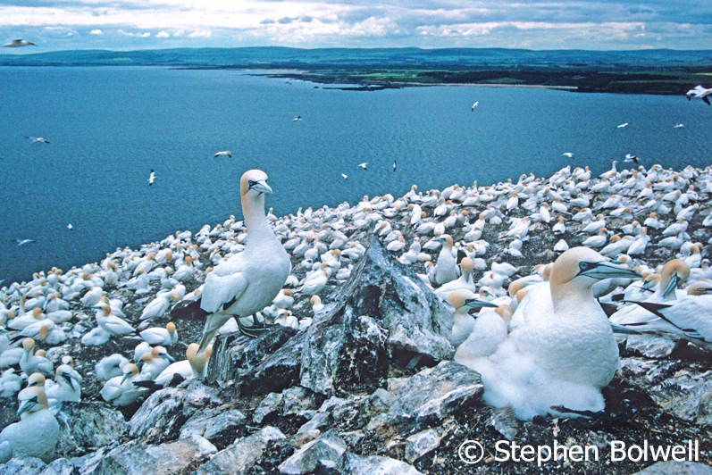 The gannets were just a small part of a work in progress for the Channel 4 series 'Wildshots'.
