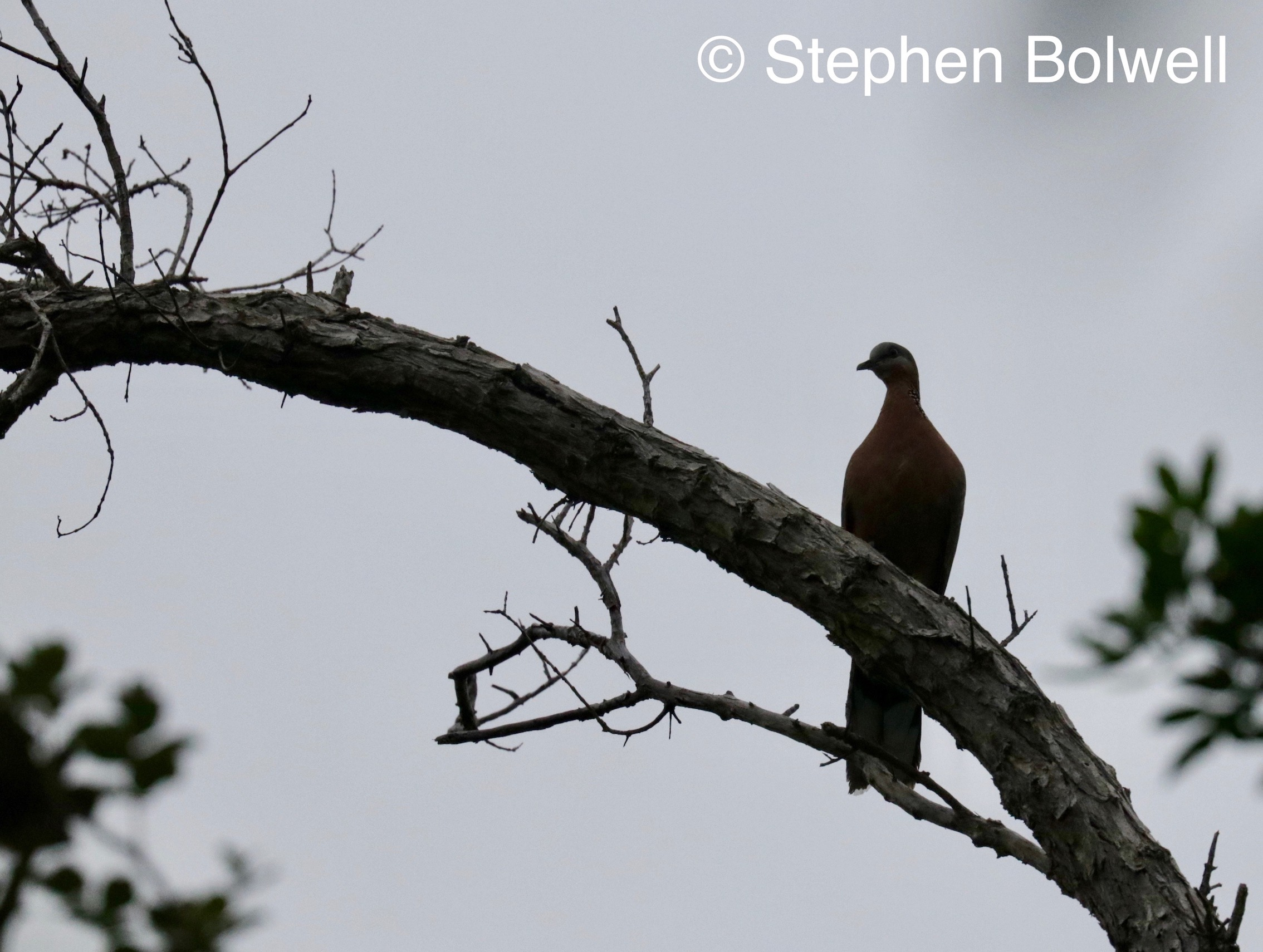 A spotted dove I think in the forest - taken to demonstrate the vog skies that make bird photography impossible